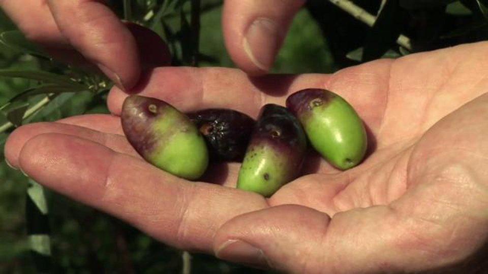 """Reportage """"L'oléiculture biologique, c'est tout naturel"""""""